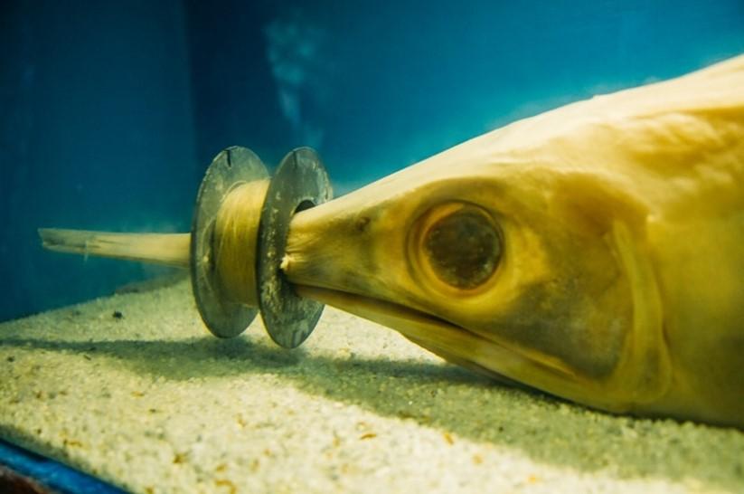 Espadarte encontrado morto por inanição com o bico enroscado em um carretel de linha de pesca. (Créditos da foto: Matheus Giordano/Aquário de Ubatuba)