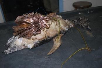 Pinguim-de-Magalhães que foi encontrado com o corpo todo enrolado em um ramalhete de flor. (Créditos: Divulgação/Instituto Argonauta)