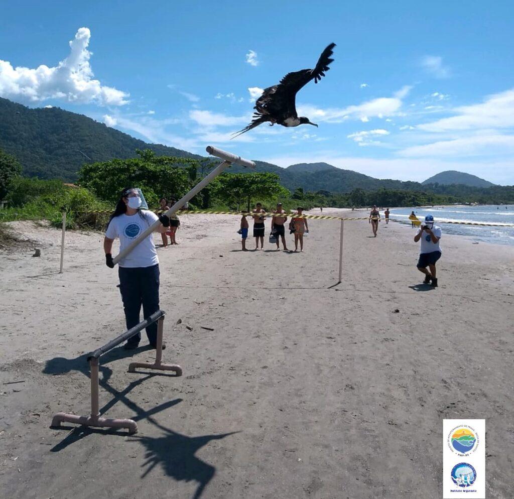 Depois de 48 dias em reabilitação, ave marinha é devolvida com sucesso pela equipe PMP-BS do Instituto Argonauta. (Créditos: Divulgação/Instituto Argonauta)