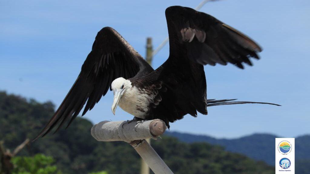"""Espécie é classificada como """"segura"""" ou """"pouco preocupante"""" na Lista Vermelha de Espécies Ameaçadas de Extinção (IUCN). (Créditos: Divulgação/Instituto Argonauta)"""